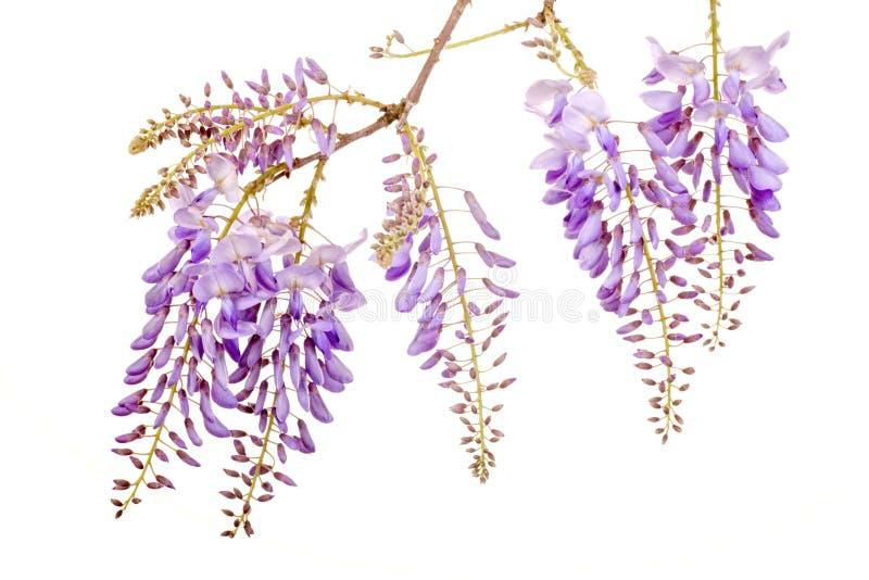 Flores bonitas das glicínias imagem de stock royalty free