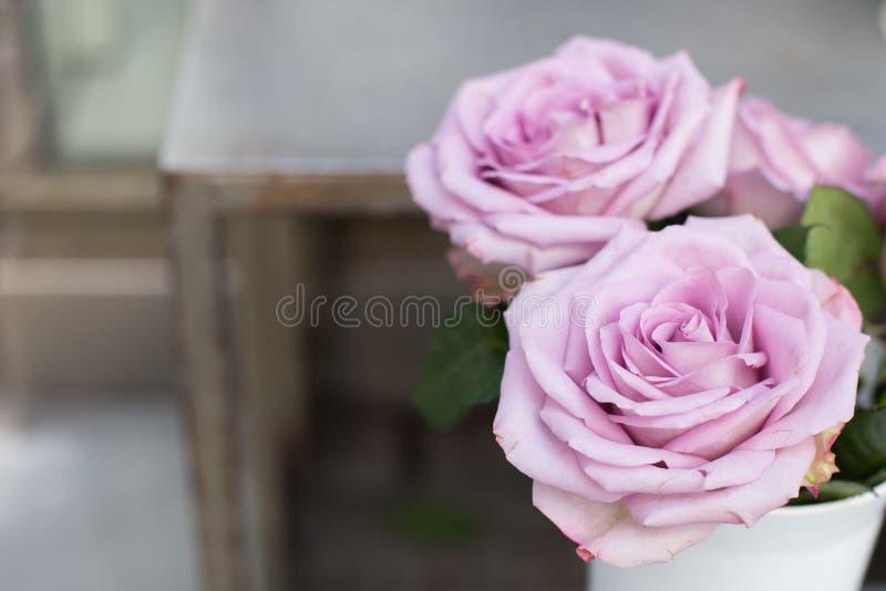 Flores bonitas das rosas roxas fotografia de stock royalty free