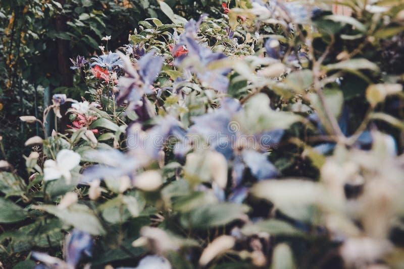 Flores bonitas de clematites violetas de floresc?ncia com gotas da chuva, arbusto grande da clematite que cresce no jardim fotos de stock