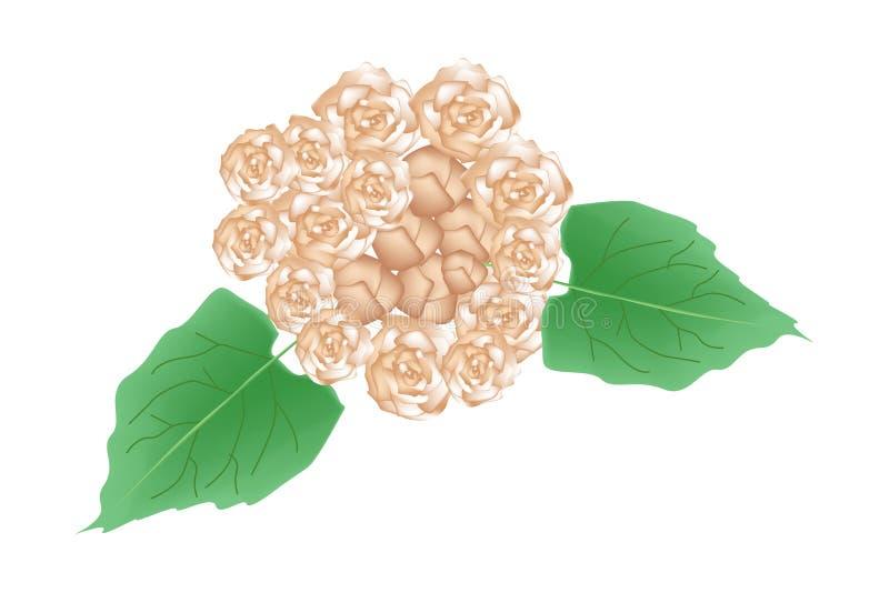 Flores bonitas de Glory Bower Flowers ou de Clerodendrum Chinense ilustração royalty free