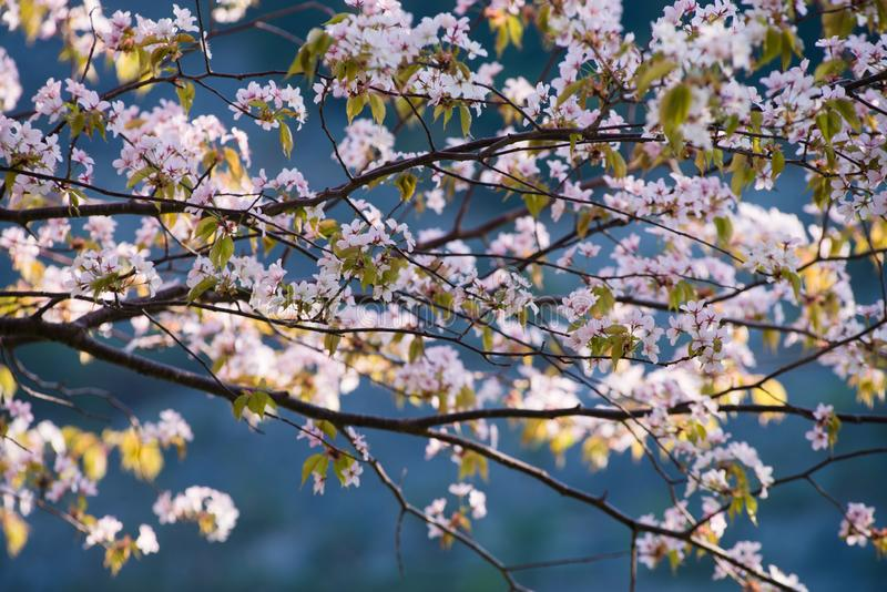 Flores bonitas de sakura na mola fotografia de stock royalty free