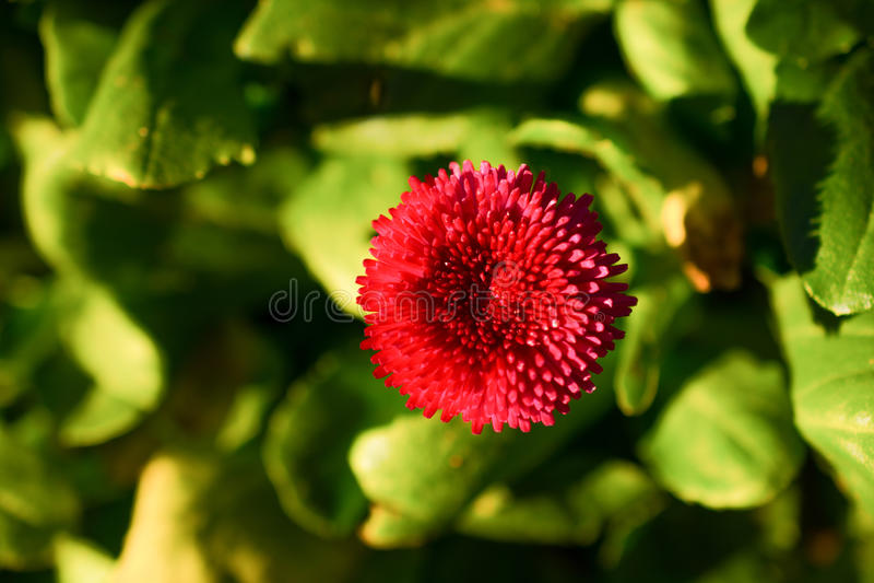 Download Flores Bonitas Do áster Na Natureza Foto de Stock - Imagem de bouquet, decoração: 80103138