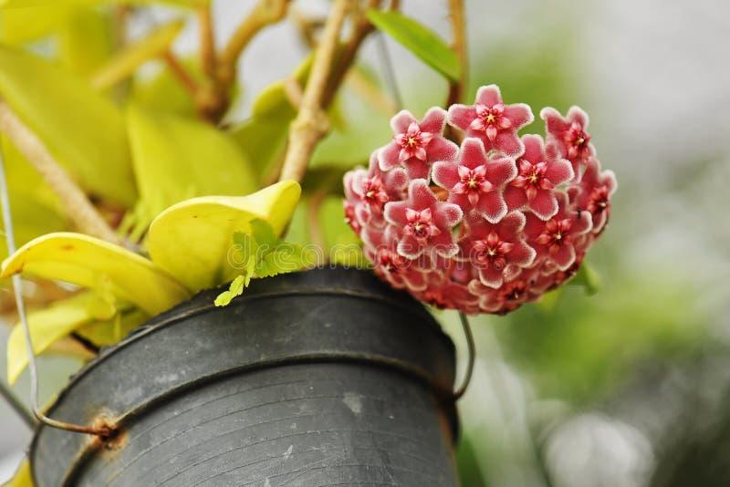 Flores bonitas do carnosa de hoya foto de stock royalty free