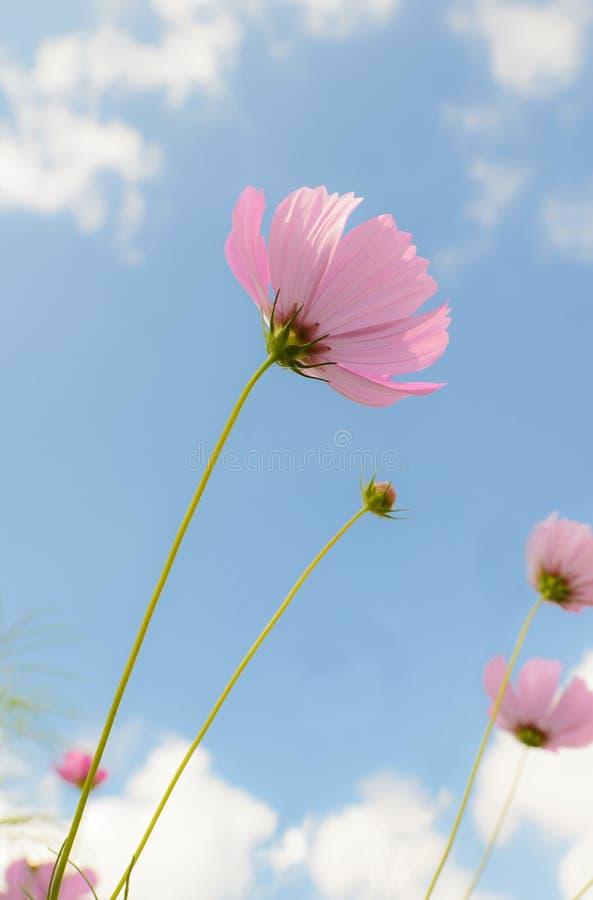 Download Flor bonita do cosmos imagem de stock. Imagem de outono - 29828271
