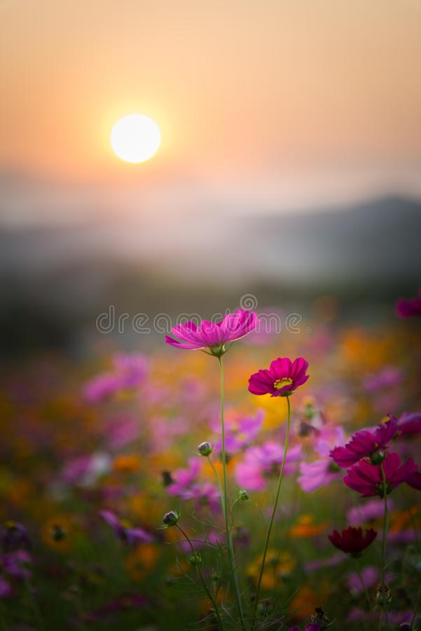 Flores bonitas do cosmos no tempo do por do sol foto de stock