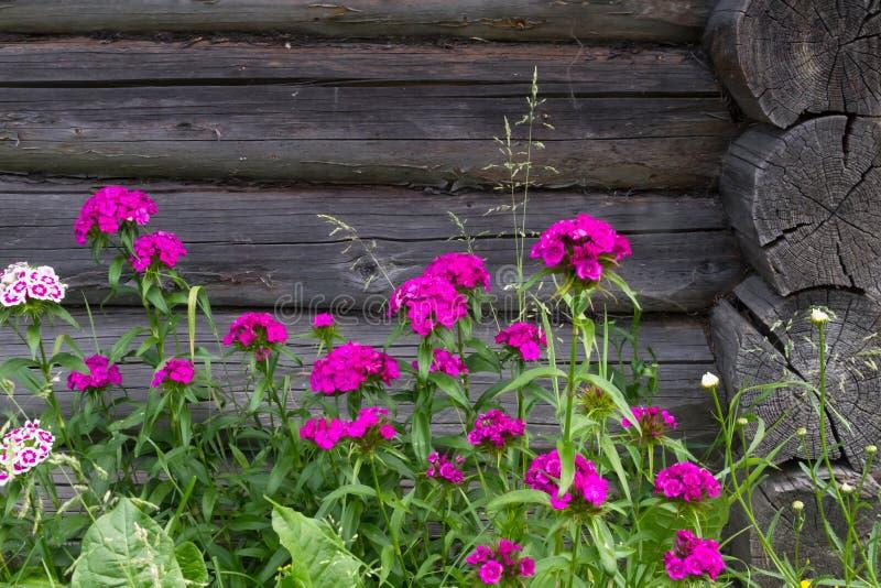 Flores bonitas do cravo turco no jardim ensolarado do verão imagem de stock