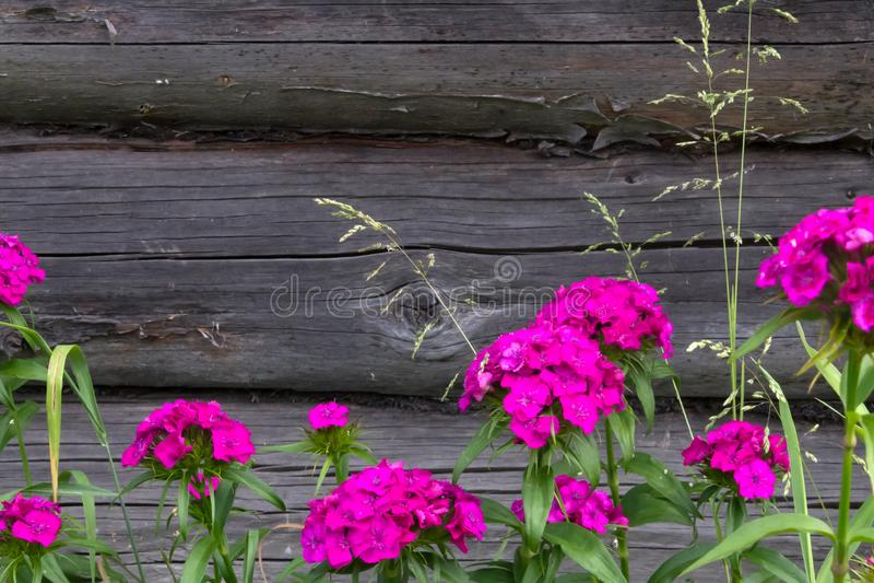 Flores bonitas do cravo turco no jardim ensolarado do verão fotografia de stock royalty free