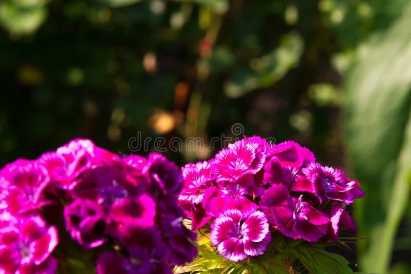 Flores bonitas do cravo turco no jardim ensolarado do verão imagens de stock royalty free