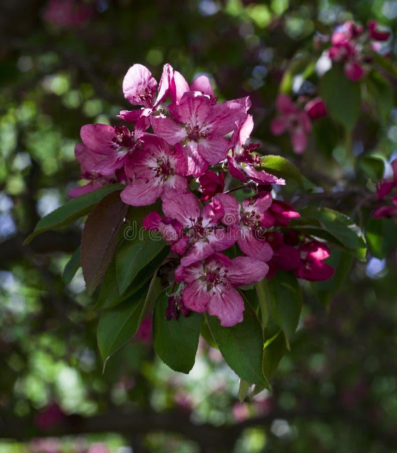 Flores bonitas do fim cor-de-rosa da cereja acima imagem de stock