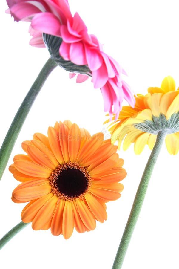 Flores bonitas do jardim no branco fotos de stock