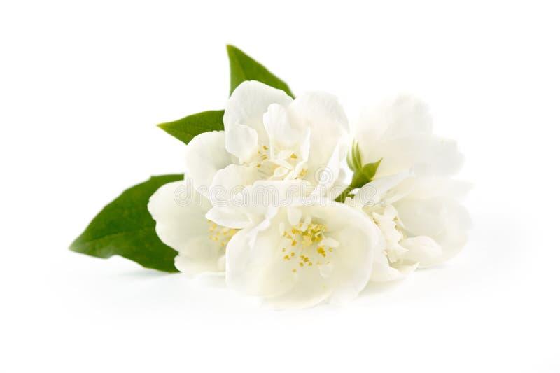 Flores bonitas do jasmim fotografia de stock