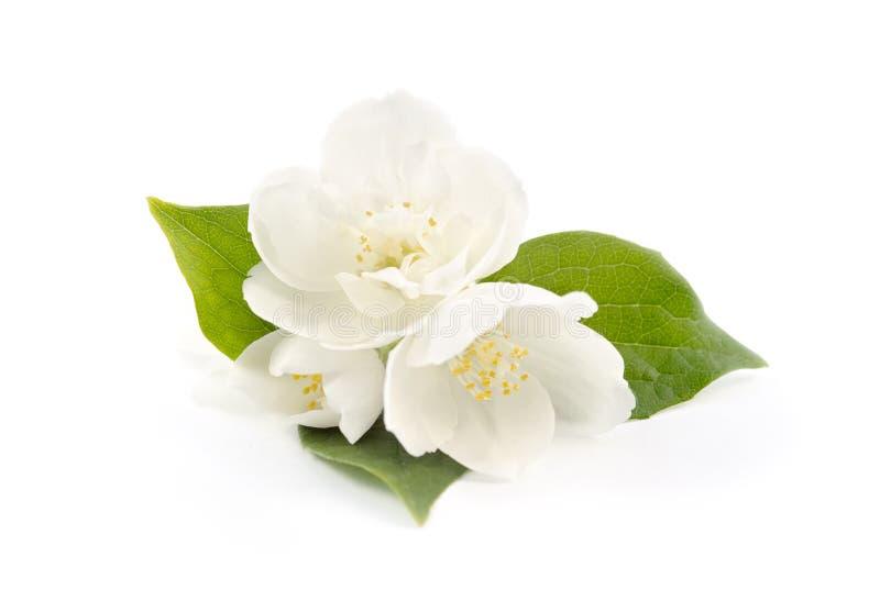 Flores bonitas do jasmim fotografia de stock royalty free