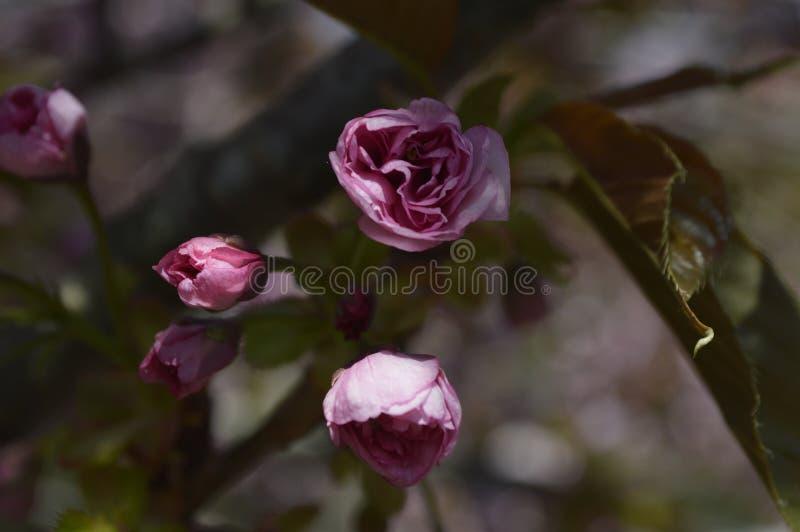 Flores bonitas do macro de sakura fotografia de stock