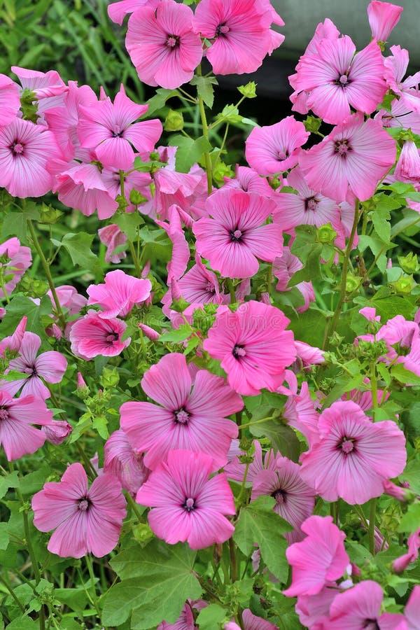 Flores bonitas do malvaceae cor-de-rosa de Lavater no jardim imagens de stock