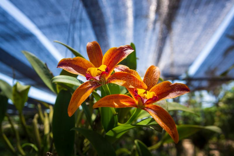 Flores bonitas do Orchidaceae na explora??o agr?cola da orqu?dea, Phuket, Tail?ndia foto de stock