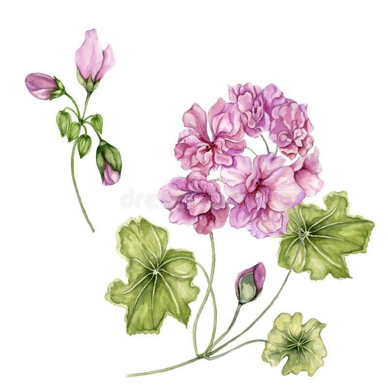 Flores bonitas do pelargonium em hastes com folhas verdes e os botões fechados isolados no fundo branco Grupo botânico ilustração stock