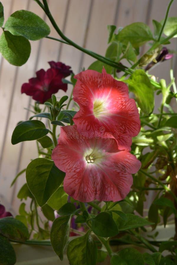 Flores bonitas do petúnia com pétalas cor-de-rosa Jardim de floresc?ncia no balc?o imagem de stock