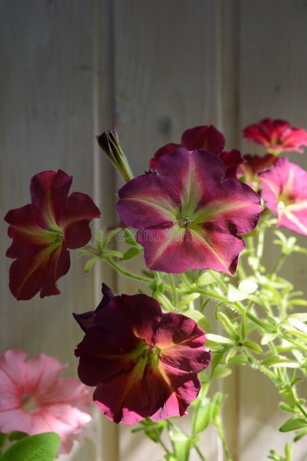 Flores bonitas do petúnia no fundo da parede de madeira Balc?o que esverdeia com plantas de floresc?ncia imagem de stock royalty free