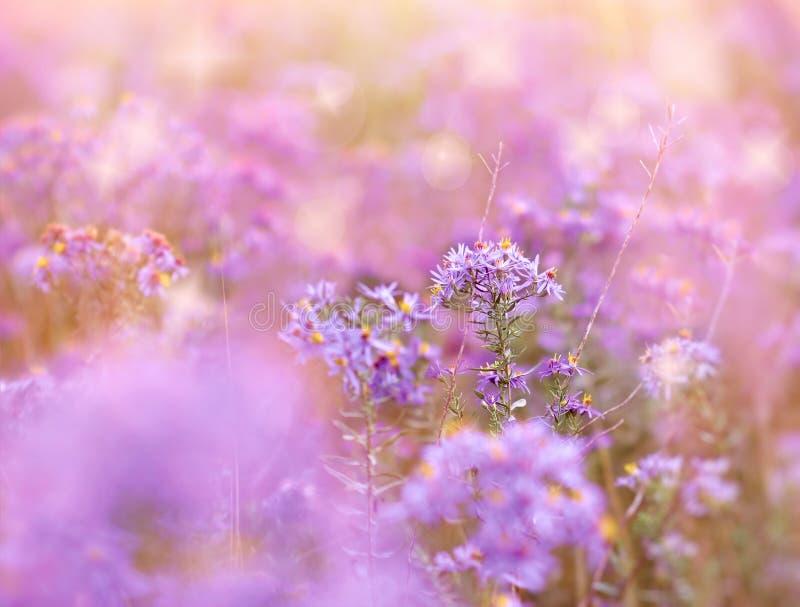 Flores bonitas do prado, flor roxa de florescência fotos de stock royalty free
