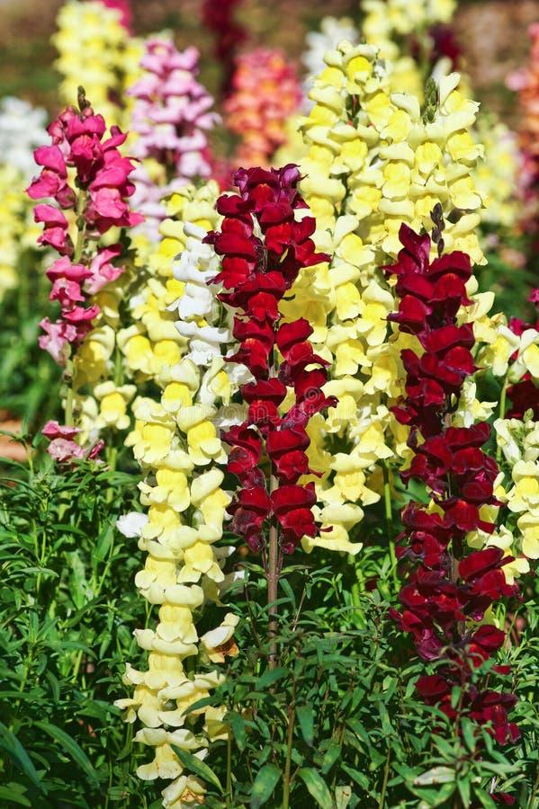 Flores bonitas do snapdragon fotografia de stock royalty free
