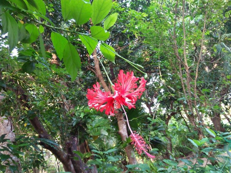 flores bonitas em Sri Lanka foto de stock royalty free