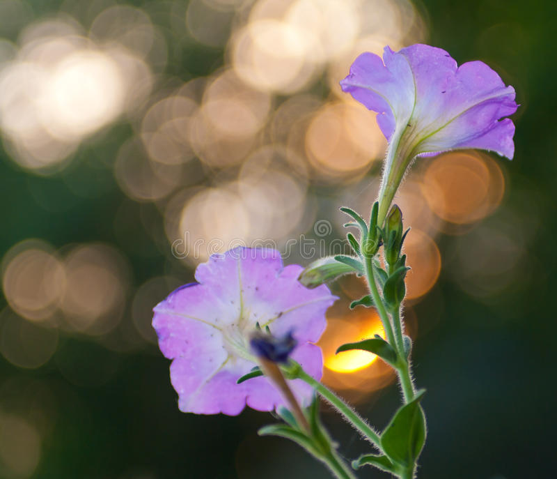 Flores bonitas no por do sol fotos de stock royalty free