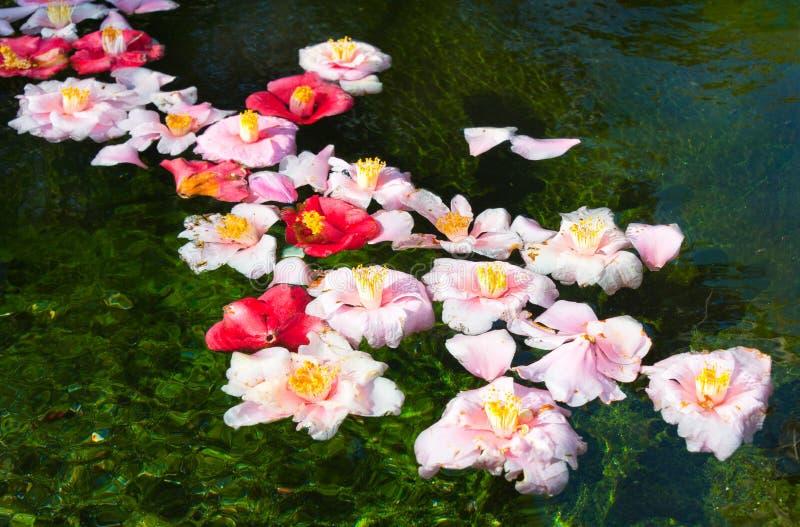 Flores bonitas que flutuam na água foto de stock royalty free