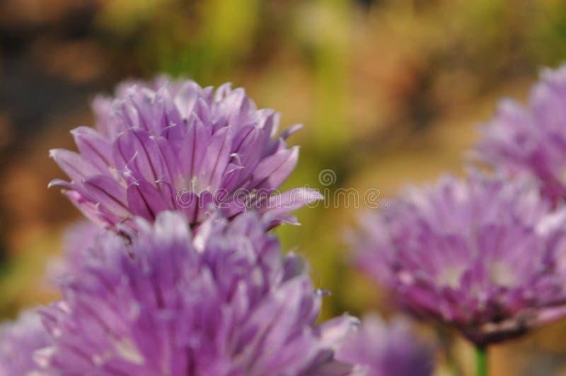 Flores bonitas roxas de cebolas selvagens fotos de stock royalty free