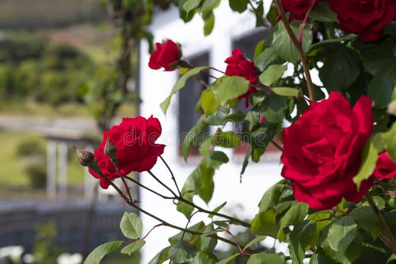 Flores bonitas vermelhas das rosas em um arbusto no jardim fotos de stock