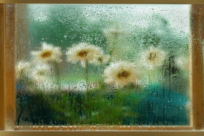 Flores borrosas, margaritas en un marco de ventana de madera, ventana de cristal mojada, gotas de agua Pintura natural de la acua imagenes de archivo