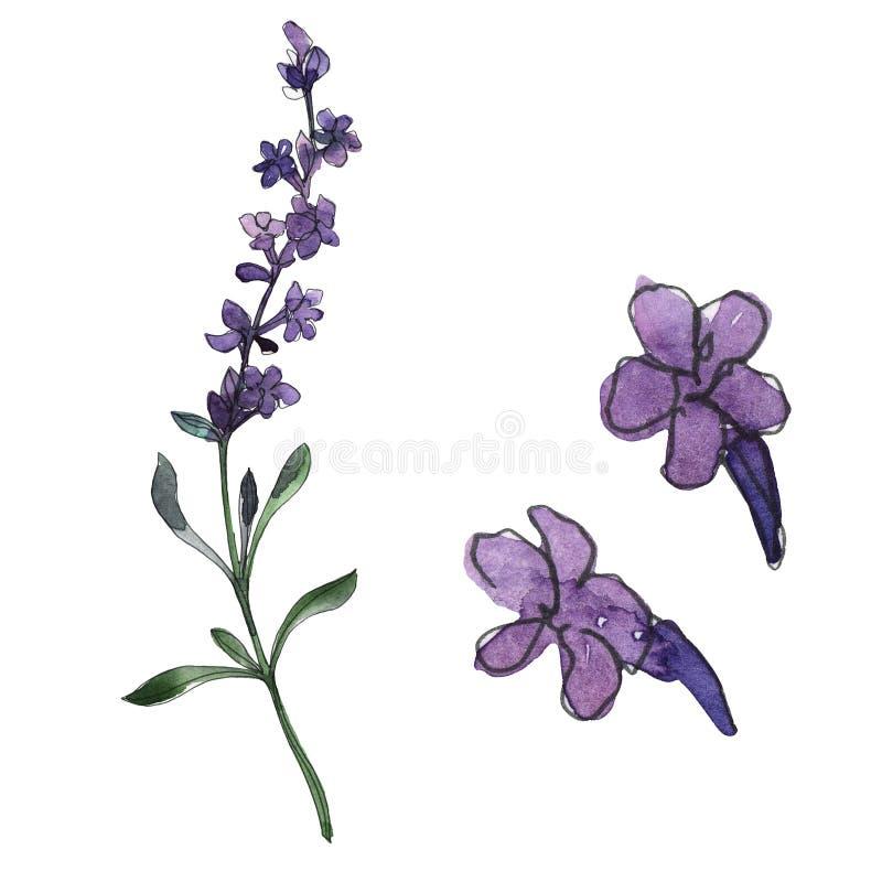 Flores botánicas florales de la lavanda violeta Conjunto del fondo de la acuarela Elemento aislado del ejemplo de la lavanda stock de ilustración
