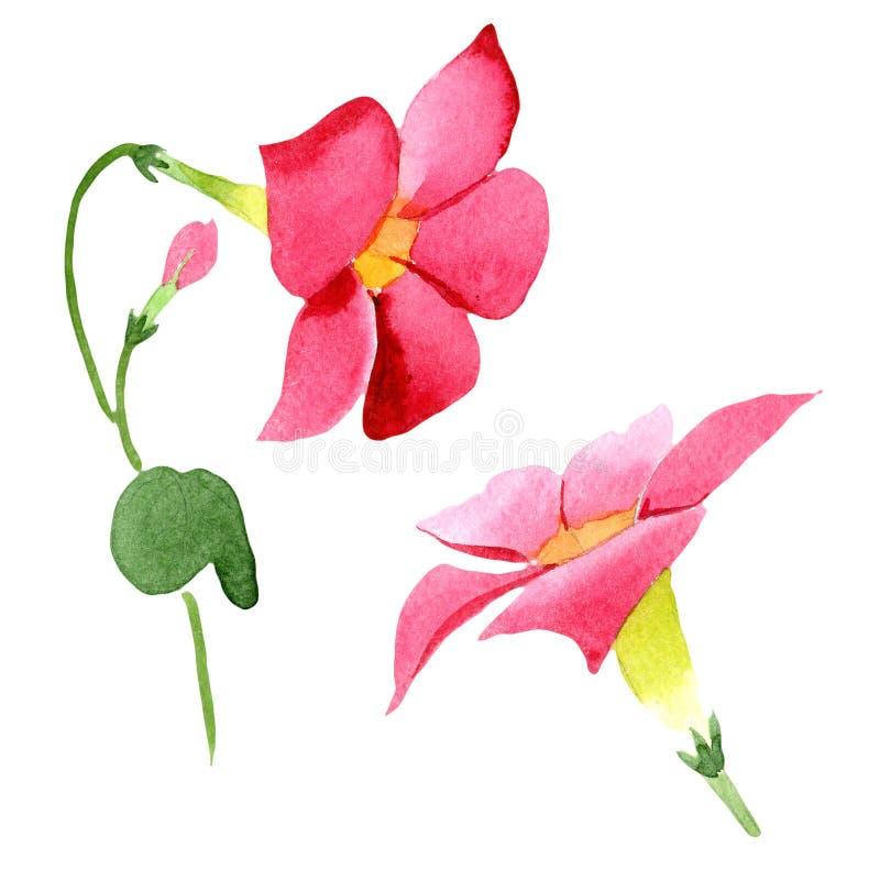 Flores botánicas florales del dipladenia rojo Conjunto del fondo de la acuarela Elemento aislado del ejemplo del mandevilla ilustración del vector