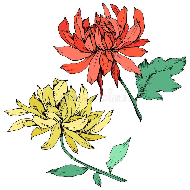 Flores botânicas florais do crisântemo vermelho e amarelo do vetor Arte gravada da tinta Elemento isolado da ilustração da flor ilustração royalty free