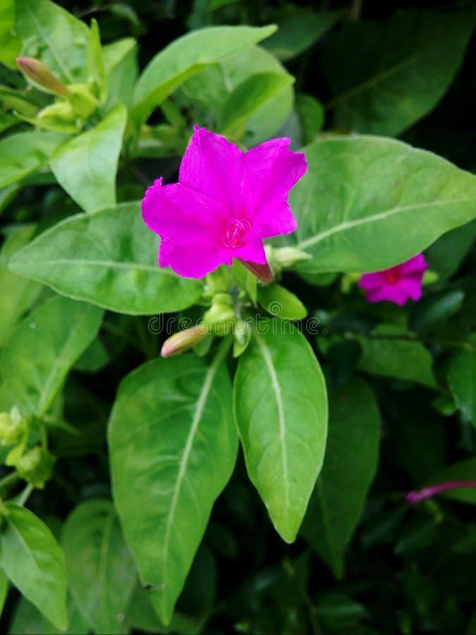 Flores, botões, e folhas cor-de-rosa pequenos imagem de stock