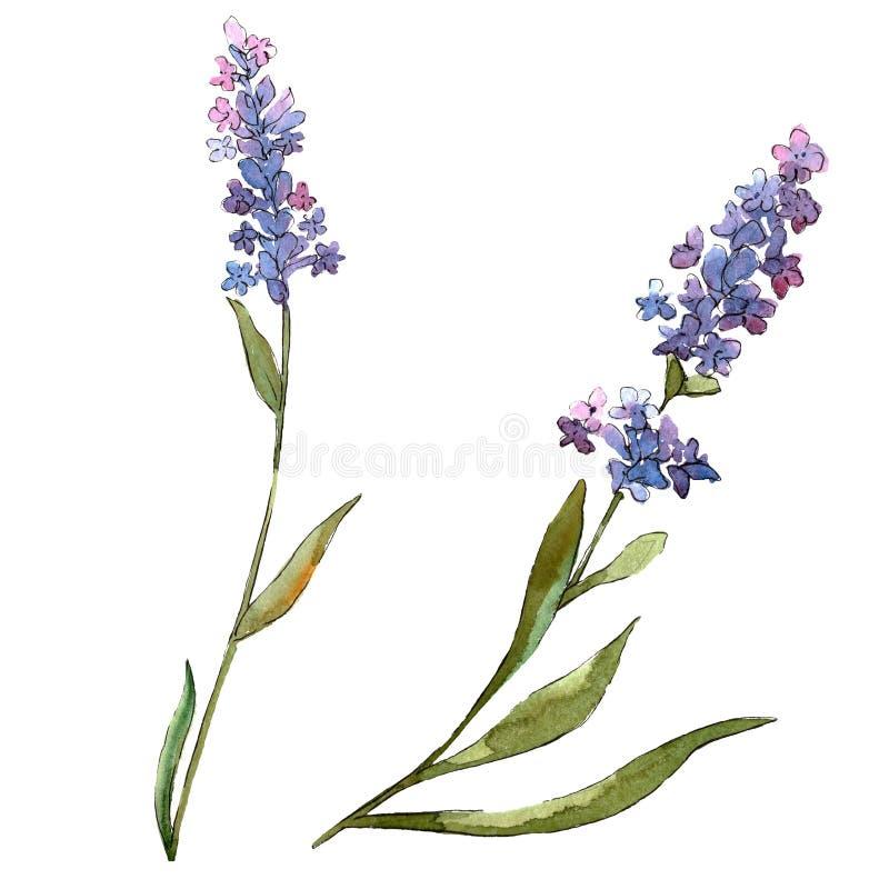 Flores bot?nicas florais da alfazema violeta azul Jogo do fundo da aguarela Elemento isolado da ilustra??o da alfazema ilustração do vetor
