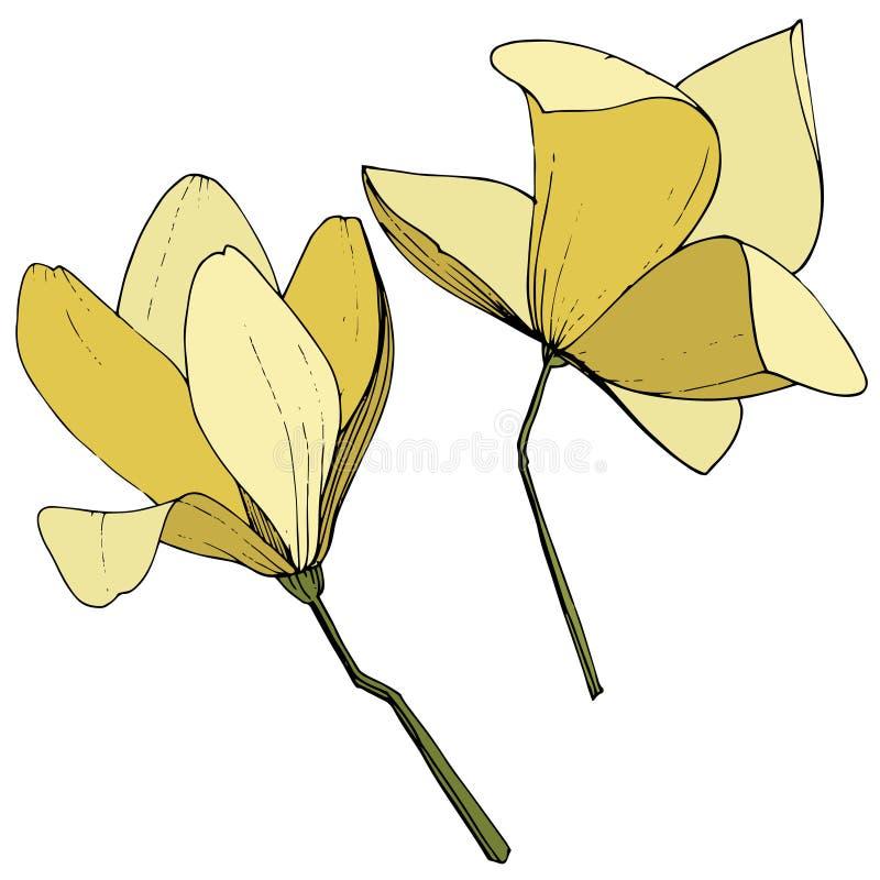 Flores bot?nicas foral de la magnolia del vector Arte grabado amarillo de la tinta Elemento aislado del ejemplo de la magnolia ilustración del vector