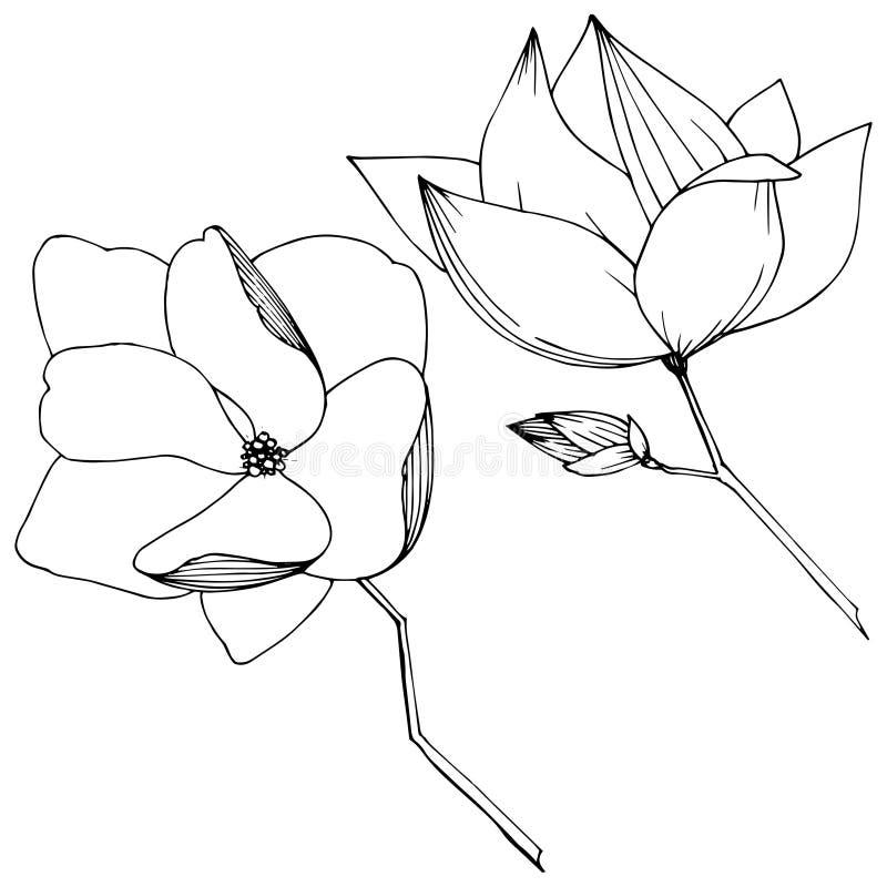 Flores bot?nicas foral de la magnolia del vector Arte grabado blanco y negro de la tinta Elemento aislado del ejemplo de la magno stock de ilustración
