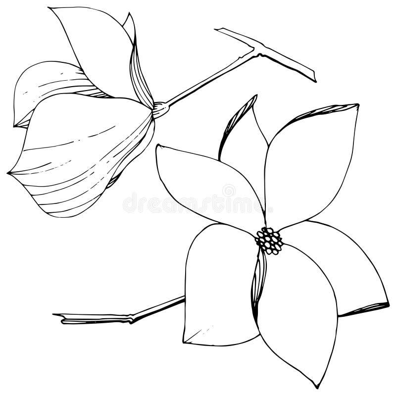 Flores bot?nicas foral de la magnolia del vector Arte grabado blanco y negro de la tinta Elemento aislado del ejemplo de la magno libre illustration