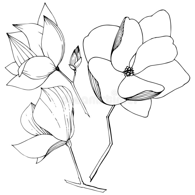 Flores bot?nicas foral de la magnolia del vector Arte grabado blanco y negro de la tinta Elemento aislado del ejemplo de la magno ilustración del vector