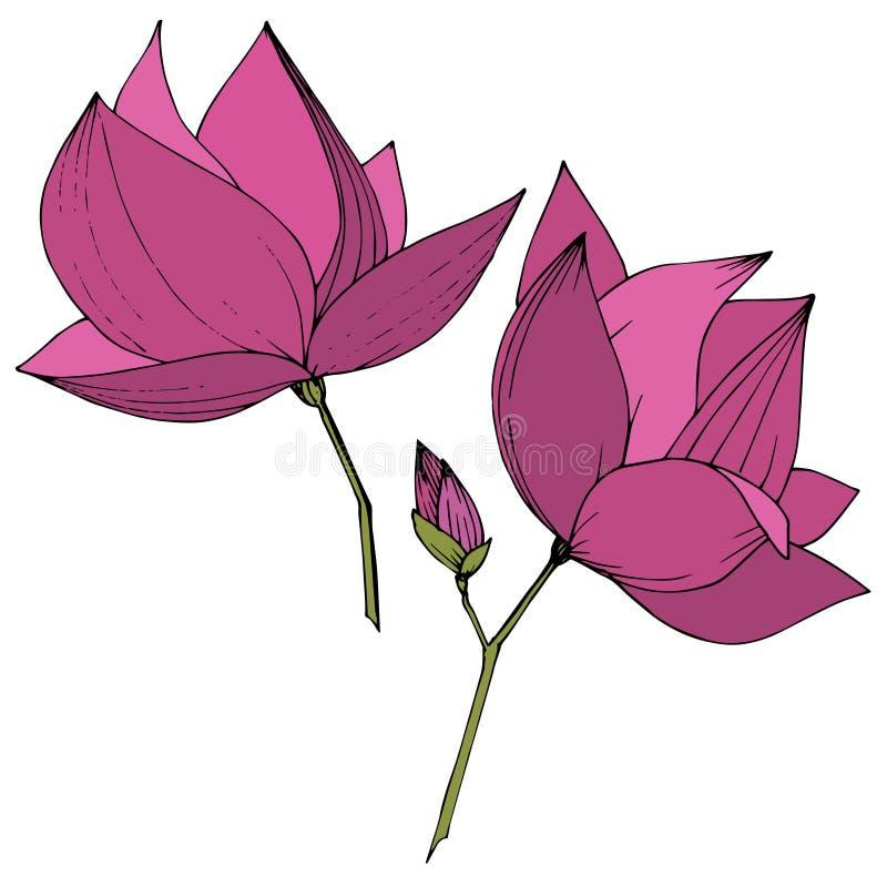 Flores bot?nicas foral de la magnolia del vector Arte grabado p?rpura de la tinta Elemento aislado del ejemplo de la magnolia libre illustration
