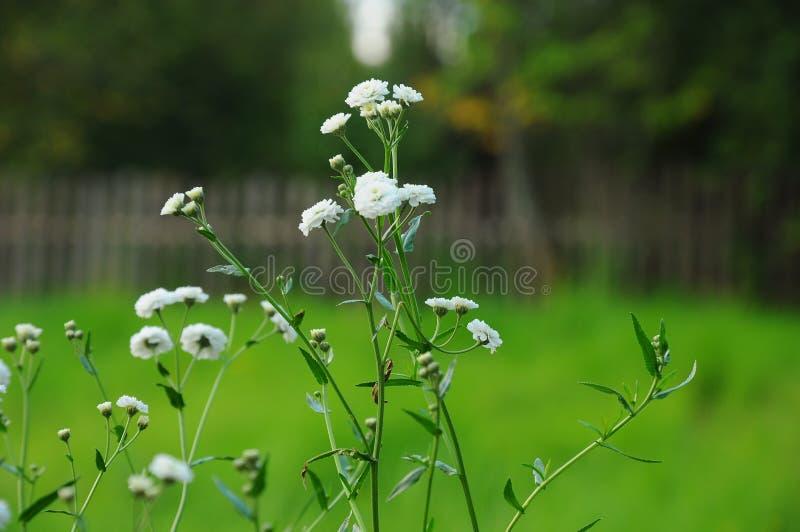 Flores brancas alegres imagens de stock royalty free