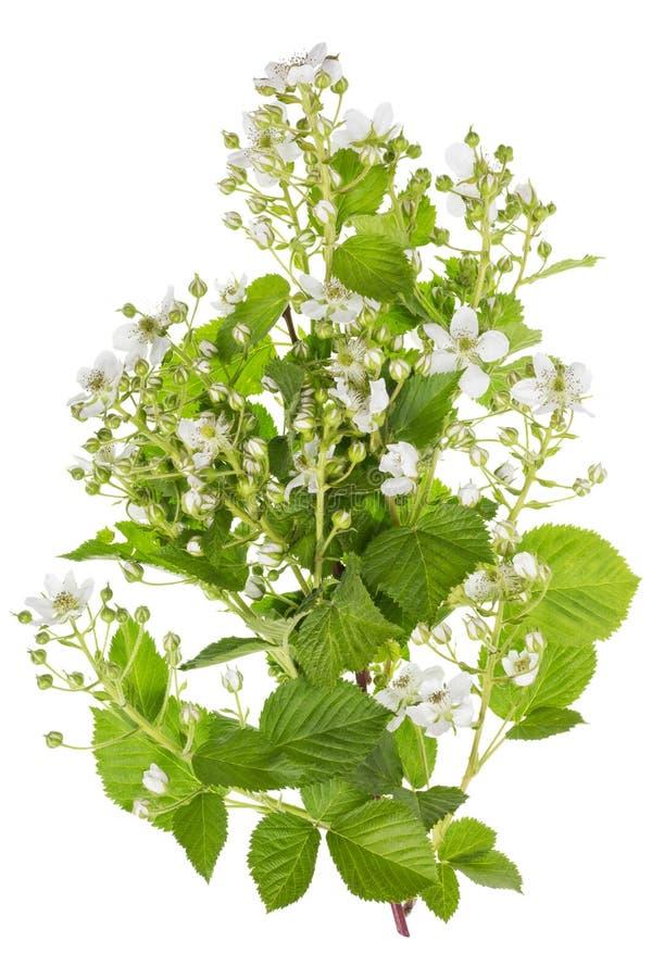 Flores brancas backberry da mola imagem de stock royalty free