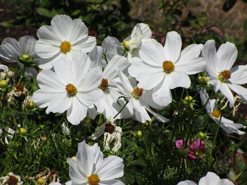 Flores brancas bonitas da temporada de verão em um jardim foto de stock