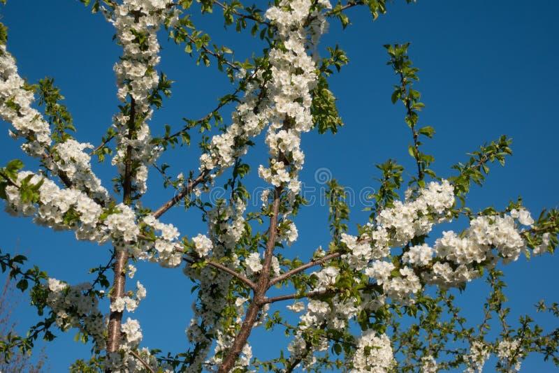 Flores brancas bonitas de sakura na ?rvore, mola fotos de stock royalty free