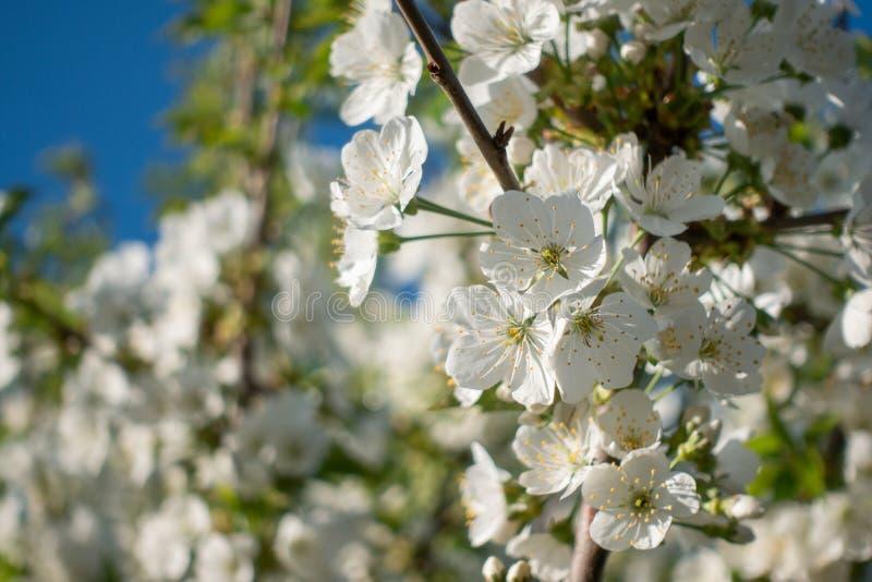 Flores brancas bonitas de sakura na ?rvore, mola imagens de stock
