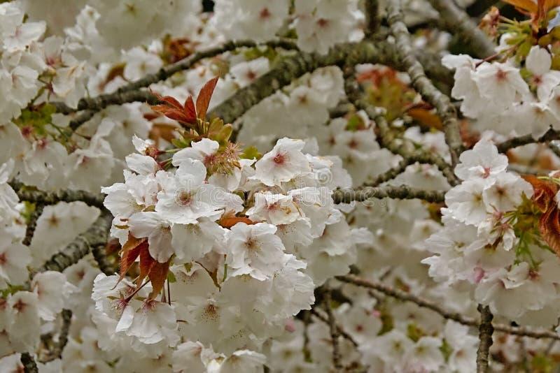 Flores brancas bonitas do prunus em uma árvore da mola imagens de stock royalty free