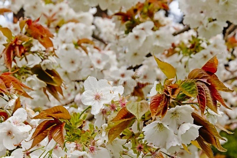 Flores brancas bonitas do prunus em uma ?rvore da mola foto de stock