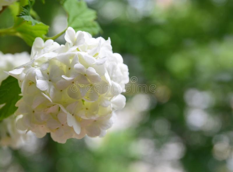 Flores brancas bonitas do viburnum no jardim Opulus do Viburnum Fim da planta decorativa da bola de neve acima fotos de stock
