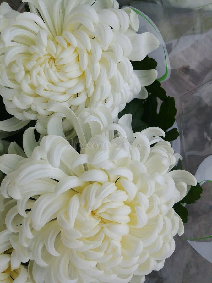 flores brancas bonitas Mão-tecidas do crisântemo do tradiTwo do artesão grandes em um ramalhete do casamento imagens de stock