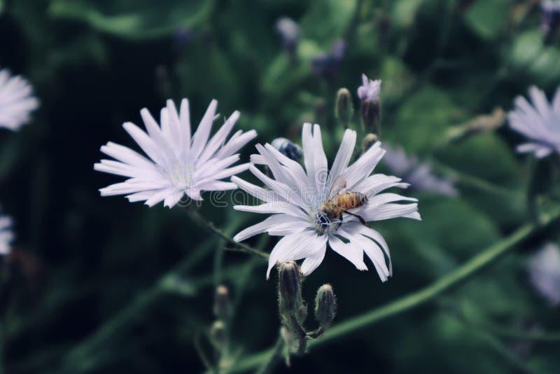 Flores brancas bonitas roxas com a vespa dentro do fim acima da flor selvagem de florescência da flor foto de stock royalty free